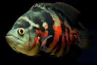 Inilah Hal yang Perlu Diperhatikan Saat Memelihara Ikan Oscar