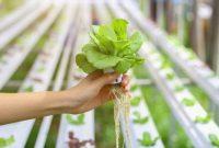 Fakta Pertanian Hidroponik yang Memiliki Banyak Keunggulan